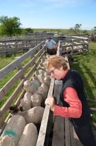 Vor der Schur bekommen die Schafe eine Schluckimpfung gegen Parasiten