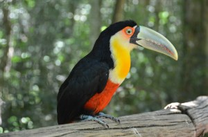 Fast handzahmer Tukan im Parque das Aves
