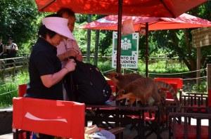 Nasenbären-Angriff auf den Rucksack zweier asiatischer Touristen