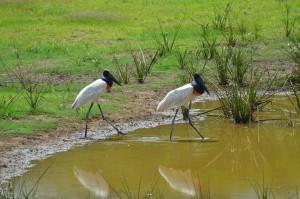 Der Jabiru, der größte Storch und  der nach dem Kondor zweitgrößte flugfähige Vogel der Welt, ist das Wahrzeichen des Pantanal