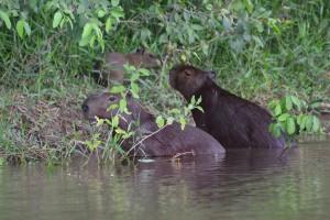 Capibaras, Wasserschweine, am Ufer des Rio Vermelho
