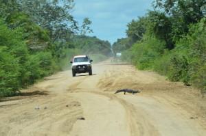 Ein Kaiman überquert die Estrada do Parque