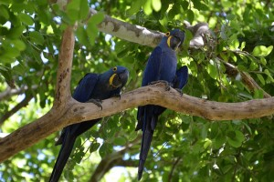 Hyazinth-Aras sind die größte Papageien-Art und vom Aussterben bedroht