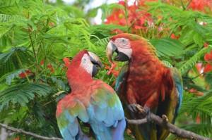 Rote Aras (Grünflügel-Aras) auf der Fazenda São João