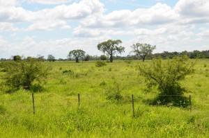 """Wiese mit den für den zentralen Chaco typischen Flaschenbäumen (""""mennonitisch"""": Buddelboom)"""