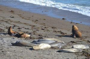 Seeelefanten im Vordergrund, dahinter Seelöwen