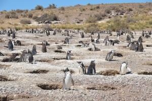 Magellan-Pinguine vor ihren Bruthöhlen