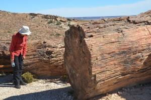 Riesige versteinerte Bäume im Bosque Petrificado