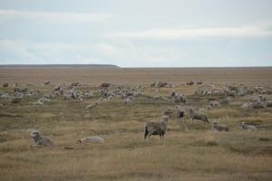 Selten sieht man auf Feuerland so viele Schafe auf einmal