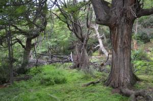 Urwald im Parque Nacional Tierra del Fuego