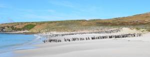 Tausende Pinguine am Strand (Carcass-Island)