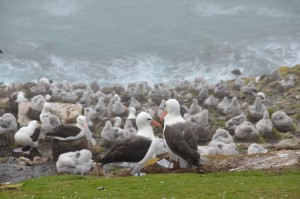 Brutkolonie Schwarzbrauen-Albatrosse