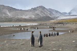 Unübersehbare Schar von Königspinguinen in der St. Andrews Bay