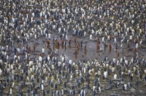 Die braunen jungen Königspinguine wurden von den ersten Entdeckern für eine eigene Art gehalten