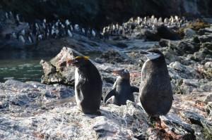 Drei Pinguinarten einträchtig nebeneinander: Goldschopf-, Esels- und Zügelpinguin (von links)