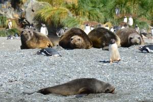 Seeelefanten und Eselspinguine, vorne eine Pelzrobbe
