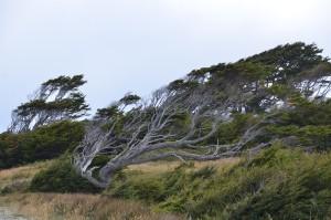 Vom Wind geformte Bäume