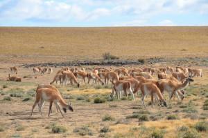 Teil einer hundertköpfigen Guanako-Herde im Parque Nacional Pali Aike