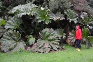 Riesige Nalca-Pflanzen im Parque Pumalin