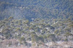 Schneegezuckerter Araukarienwald