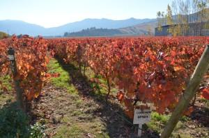 Carmenère-Feld auf dem Weingut Montes
