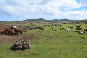 Kühe und (zu) viele Pferde auf der Weide