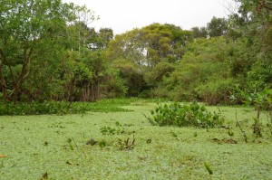 Kein Rasen, sondern Fluss mit Wassersalat an der Oberfläche