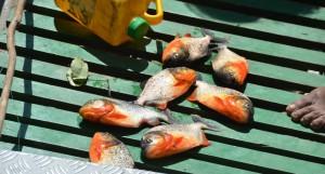 Frisch geangelte Piranhas