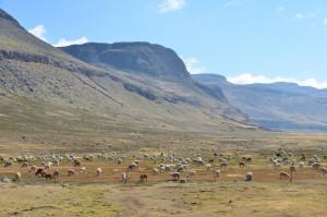 Alpaka-Herde auf der Weide in 4.000 m Höhe