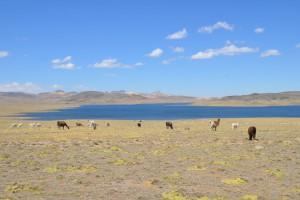 Alpakas und Schafe vor herrlicher Altiplano-Landschaft