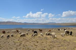Alpakas und Schafe direkt neben der uns aufhaltenden Baustelle