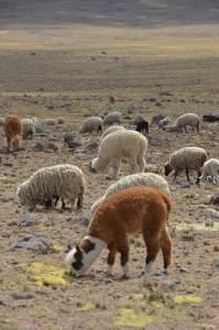 """Alpakas sind richtige Wollknäuel und ziemlich """"knuddelig"""""""