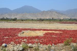 Frisch geerntete Peperoni liegen zum Trocknen in der heißen Sonne