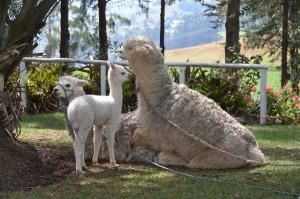 Nicht von Erfolg gekrönter Versuch, weitere junge Llamas zu generieren. Die Tonspur kann bedauerlicherweise nicht mitgeliefert werden.