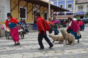 Diese Schafe wollen um keinen Preis von ihren neuen Besitzern abgeführt werden.