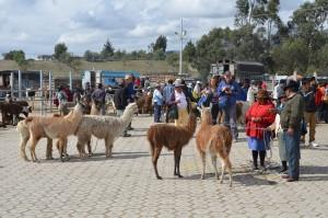 Llamas auf dem Viehmarkt von Saquisilí