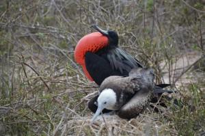 Balzender Fregattvogel mit Angebeteter