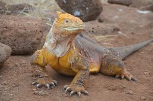 Iguana de la Tierra, Landleguan