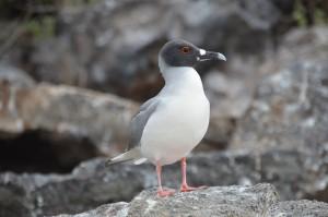 Galápagos-Möwe