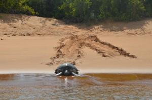 Meeresschildkröte kehrt nach der Eiablage ins Meer zurück