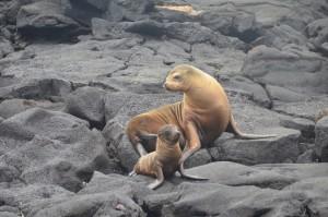 Seelöwe mit Jungem