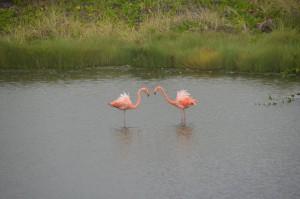 Flamingos in Lagune bei Puerto Villamil