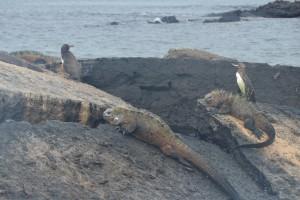 Meerechsen (Iguanas Marinas) und Galápagos-Pinguine