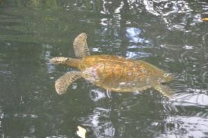 Meeresschildkröte in der Elizabeth Bay