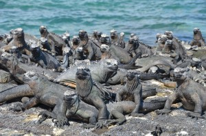 Raue Mengen von Meerechsen auf Fernandina