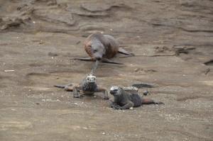 Junger Seelöwe beißt Meerechse spielerisch in den Schwanz