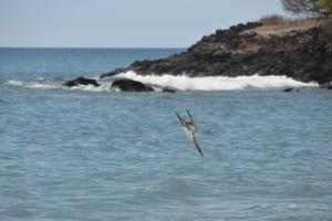 Blaufuß-Tölpel bei Sturzflug
