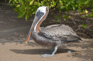 Pelikan am Strand unter Mangroven