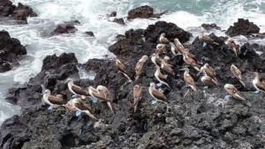 Blaufuß-Tölpel auf den Felsen am Strand von Puerto Villamil