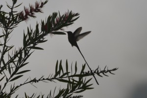 Langschwanzkolibri